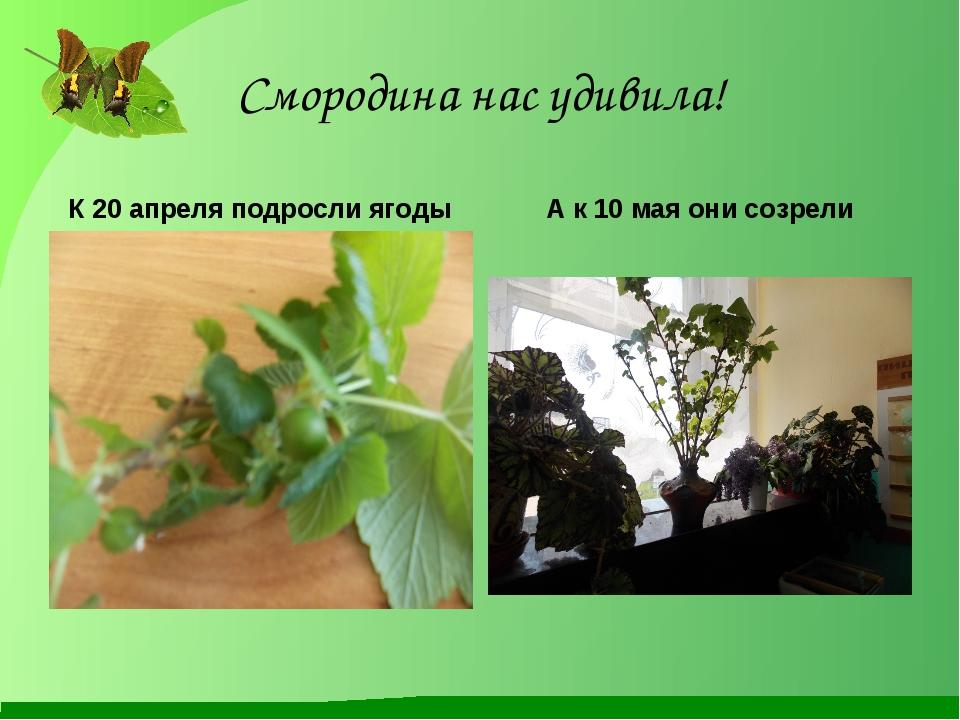 Смородина нас удивила! К 20 апреля подросли ягоды А к 10 мая они созрели