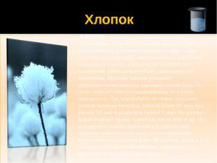Хлопок ХЛОПОК - волокна, покрывающие семена хлопчатника. При его созревании