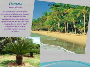 Пальма Ствол обычно не ветвится (кроме рода дум-пальм), довольно часто пальмы