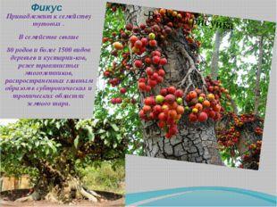 Фикус Принадлежит к семейству тутовых . В семействе свыше 80 родов и более 15