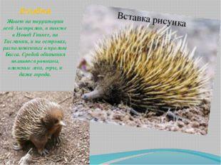 Ехидна . Живет на территории всей Австралии, а также в Новой Гвинее, на Тасма