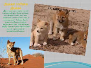 Дикая собака Динго Динго так же известны как австралийские дикие собаки, несм