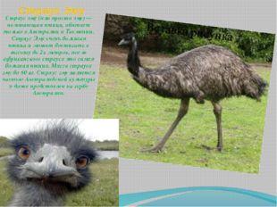 Страус Эму Страус эму (или просто эму) — нелетающая птица, обитает только в А