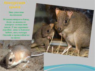 Кенгуровая крыса Эти существа достигают 50 сантиметров в длину, более половин