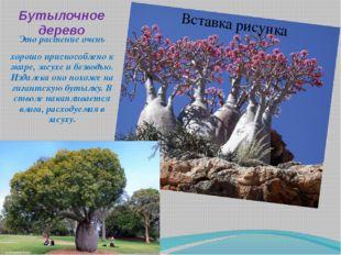 Бутылочное дерево Это растение очень хорошо приспособлено к жаре, засухе и бе
