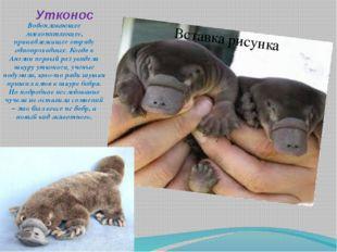Утконос Водоплавающее млекопитающее, принадлежащее отряду однопроходных. Когд