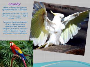 Какаду Один из наиболее крупных представителей семейства. Длина тела 48—55см