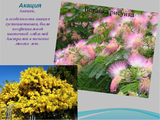 Акация Акации, в особенности акация густоцветковая, были неофициальной цветоч...