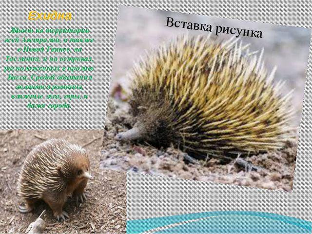Ехидна . Живет на территории всей Австралии, а также в Новой Гвинее, на Тасма...