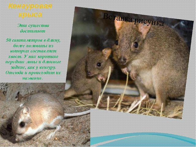 Кенгуровая крыса Эти существа достигают 50 сантиметров в длину, более половин...