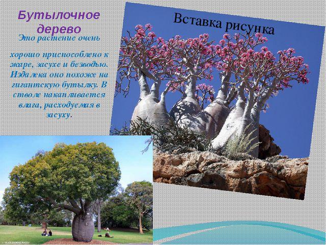 Бутылочное дерево Это растение очень хорошо приспособлено к жаре, засухе и бе...