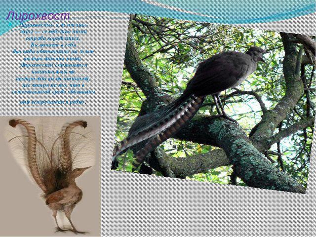 Лирохвост Лирохвосты, илиптицы-лиры— семейство птиц отряда воробьиных. Вклю...