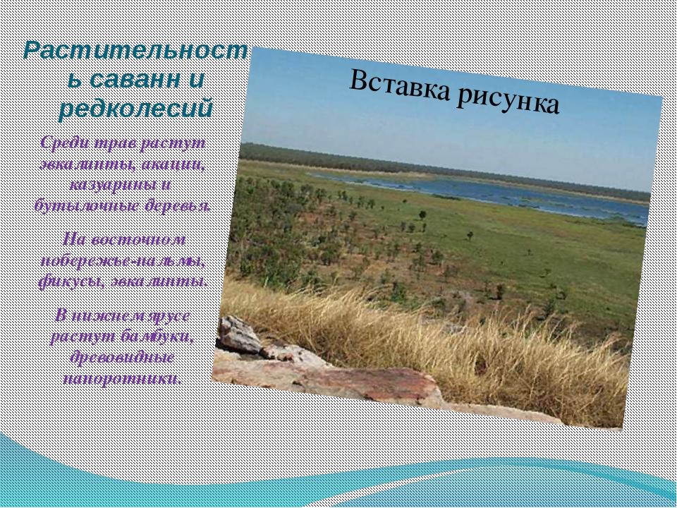 Растительность саванн и редколесий Среди трав растут эвкалипты, акации, казуа...
