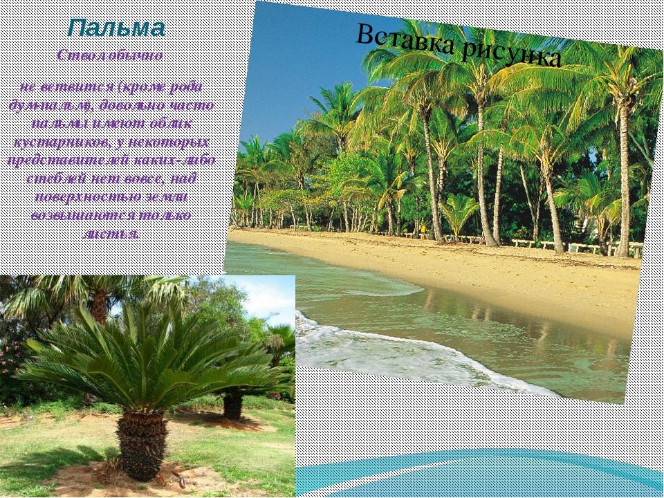 Пальма Ствол обычно не ветвится (кроме рода дум-пальм), довольно часто пальмы...