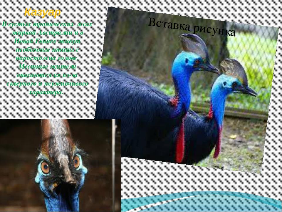 Казуар В густых тропических лесах жаркой Австралии и в Новой Гвинее живут нео...