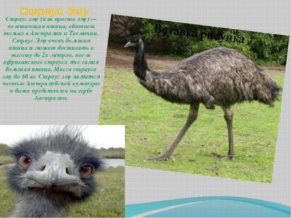 Страус Эму Страус эму (или просто эму) — нелетающая птица, обитает только в А...