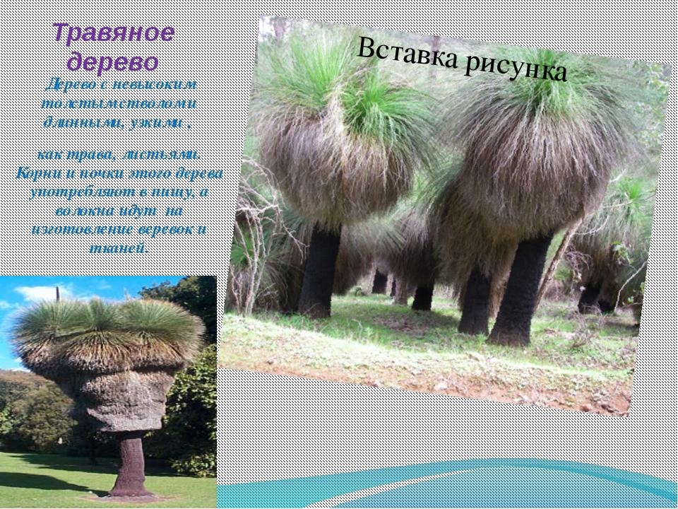 Травяное дерево Дерево с невысоким толстым стволом и длинными, узкими , как т...