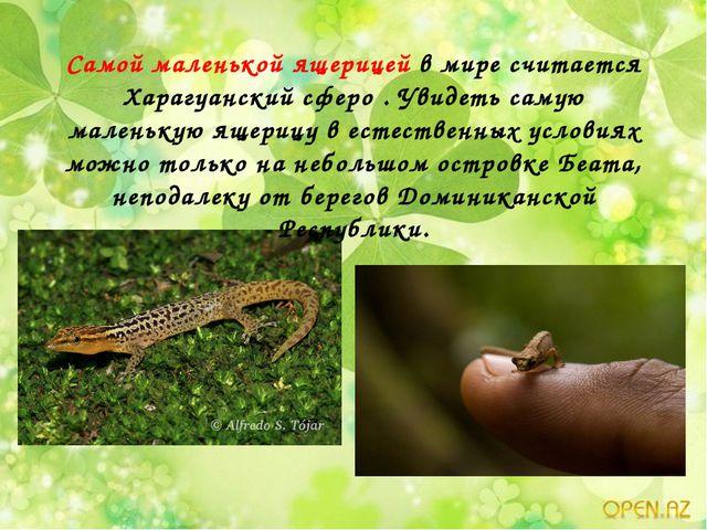 Самой маленькой ящерицей в мире считается Харагуанский сферо . Увидеть самую...