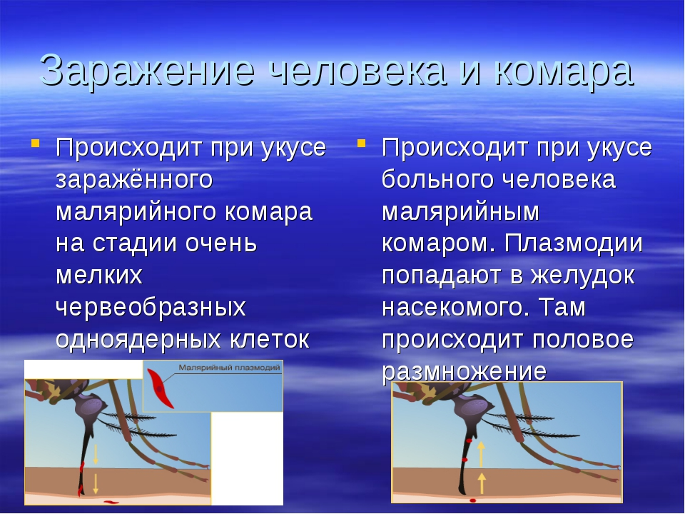 Заражение человека и комара Происходит при укусе заражённого малярийного кома...