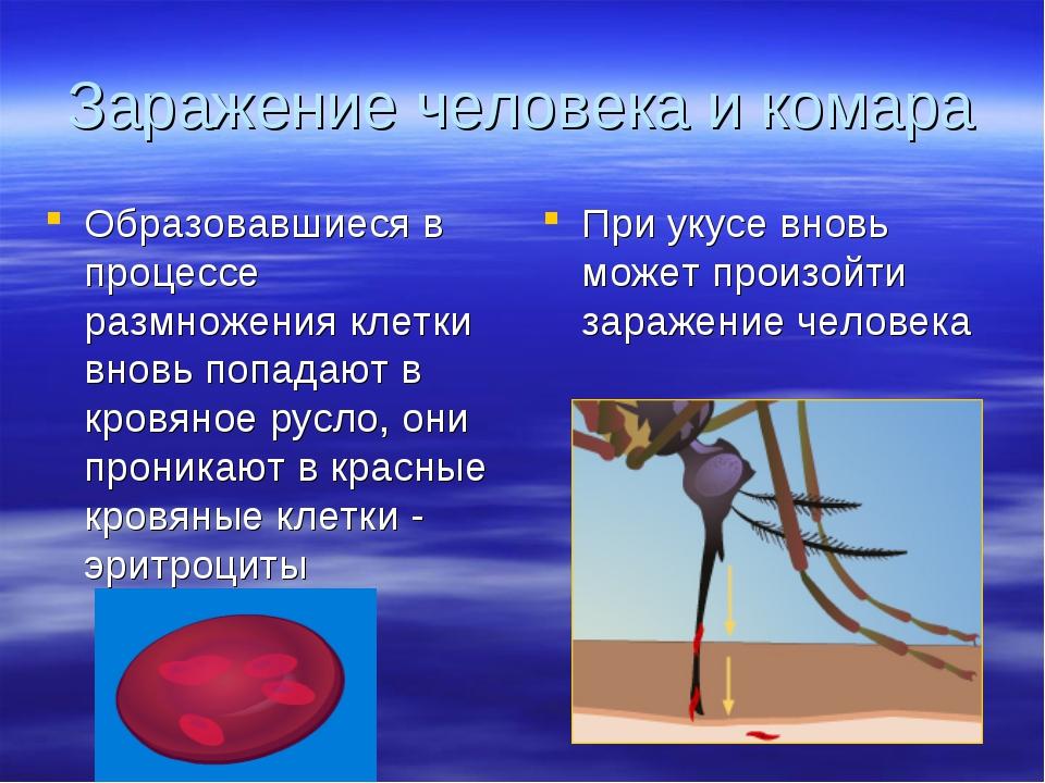 Заражение человека и комара Образовавшиеся в процессе размножения клетки внов...