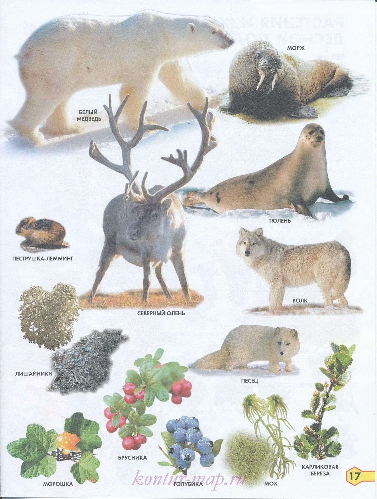 все о животных тундры с картинками диетических куриных котлет