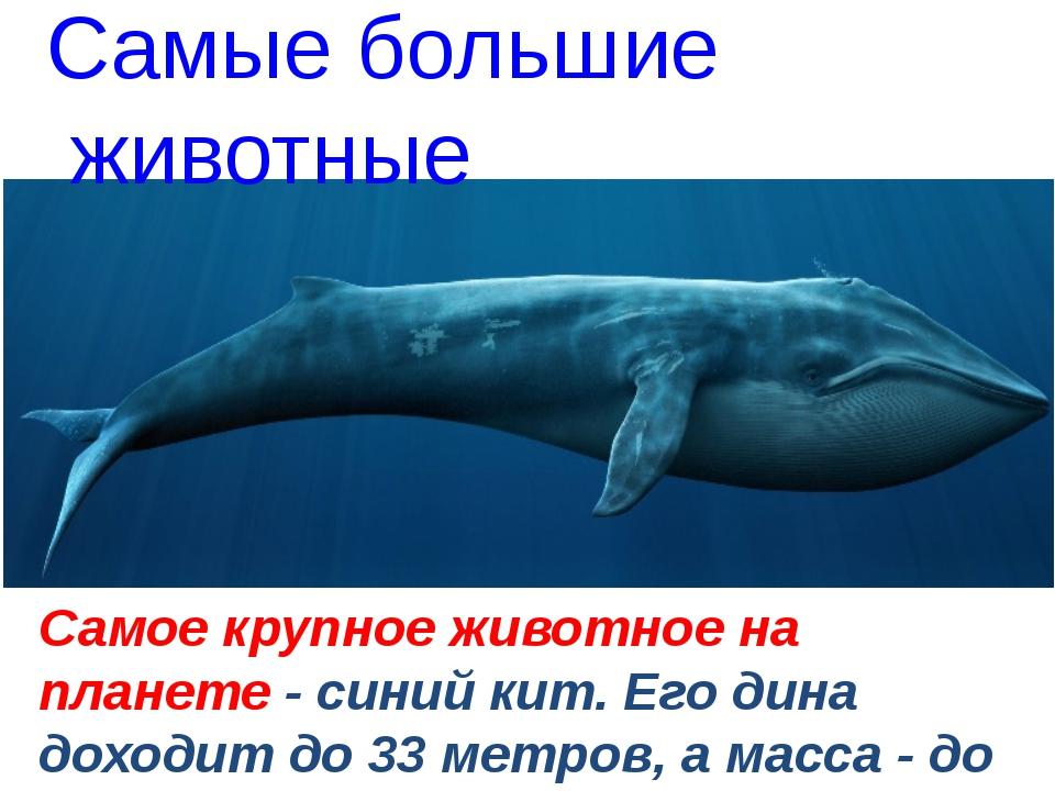 Самое крупное животное на планете - синий кит. Его дина доходит до 33 метров...
