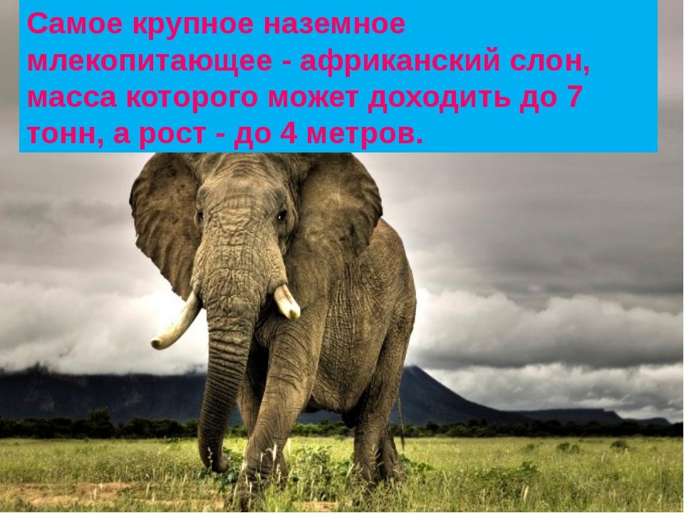 Самое крупное наземное млекопитающее - африканский слон, масса которого может...