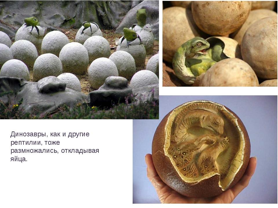Динозавры, как и другие рептилии, тоже размножались, откладывая яйца.