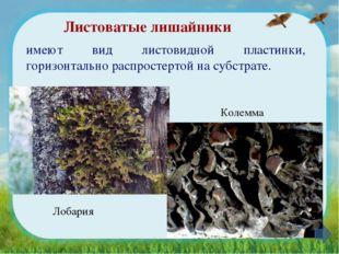 Листоватые лишайники имеют вид листовидной пластинки, горизонтально распросте