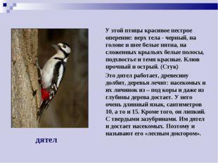 У этой птицы красивое пестрое оперение: верх тела - черный, на голове и шее
