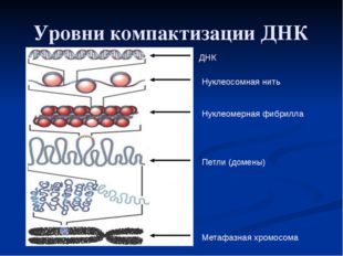 Уровни компактизации ДНК ДНК Нуклеосомная нить Нуклеомерная фибрилла Петли (д