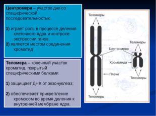 Теломера – конечный участок хроматид, покрытый специфическими белками. 1) защ