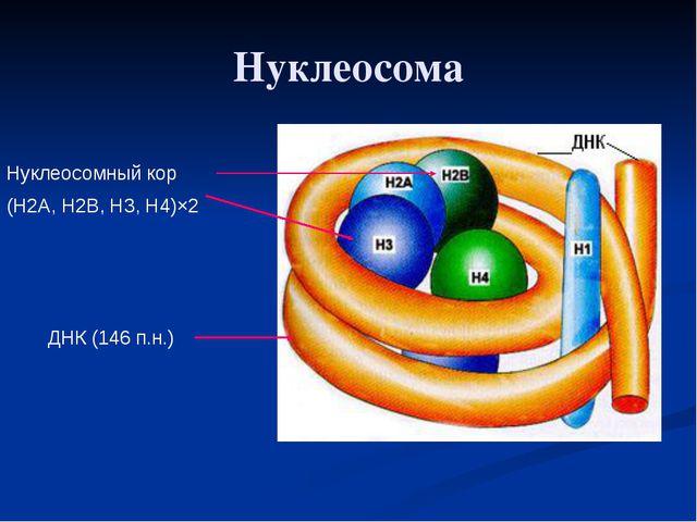Нуклеосома Нуклеосомный кор (Н2А, Н2В, Н3, Н4)×2 ДНК (146 п.н.)