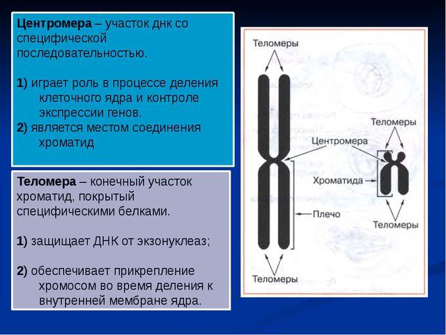 Теломера – конечный участок хроматид, покрытый специфическими белками. 1) защ...
