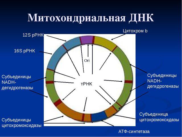 Митохондриальная ДНК Ori 12S рРНК 16S рРНК Цитохром b Субъединицы NADH-дегидр...
