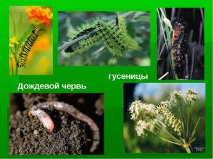 Дождевой червь гусеницы