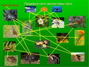 Пищевые сети экосистемы луга Сова (из леса)