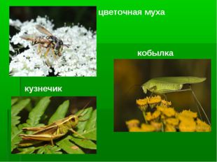 кобылка кузнечик цветочная муха