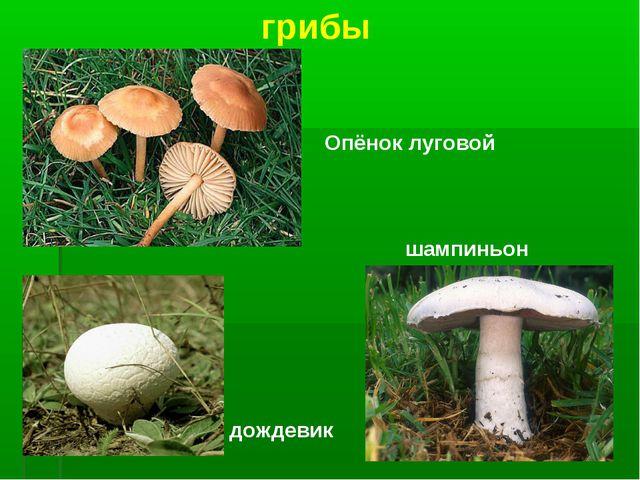 грибы Опёнок луговой дождевик шампиньон