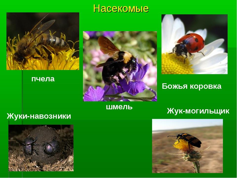 Насекомые пчела Божья коровка шмель Жуки-навозники Жук-могильщик