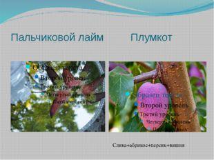 Пальчиковой лайм Плумкот Слива+абрикос+персик+вишня