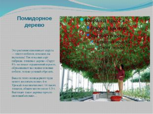 Помидорное дерево Это растение напоминает спрута — много побегов, похожих на
