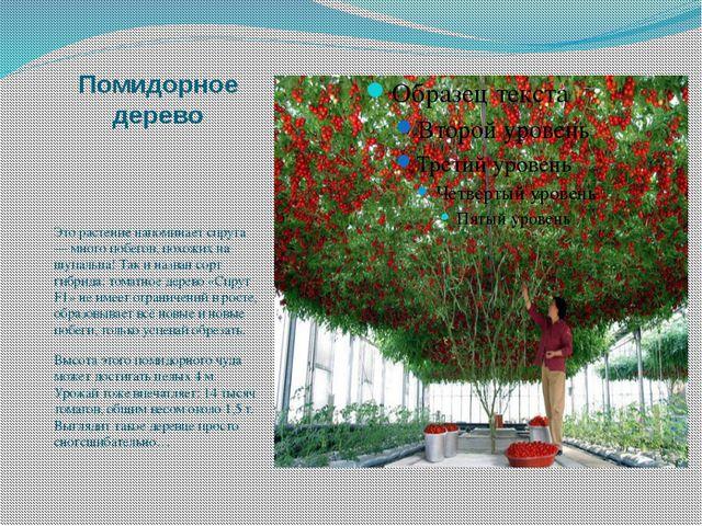Помидорное дерево Это растение напоминает спрута — много побегов, похожих на...