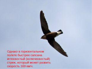 Однако в горизонтальном полете быстрее сапсана иглохвостый (колючехвостый) ст