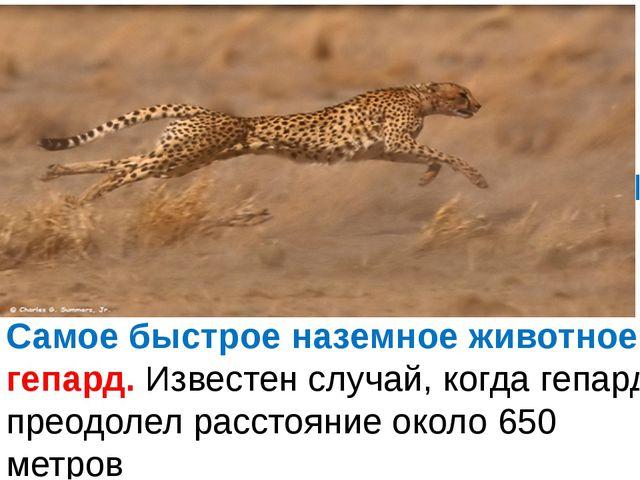Самое быстрое наземное животное - гепард. Известен случай, когда гепард прео...