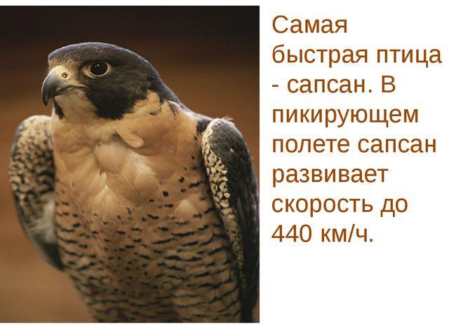 Самая быстрая птица - сапсан. В пикирующем полете сапсан развивает скорость д...