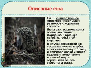 Еж —хищное ночное животноенебольших размеров с коротким хвостом. Иглы ежа р