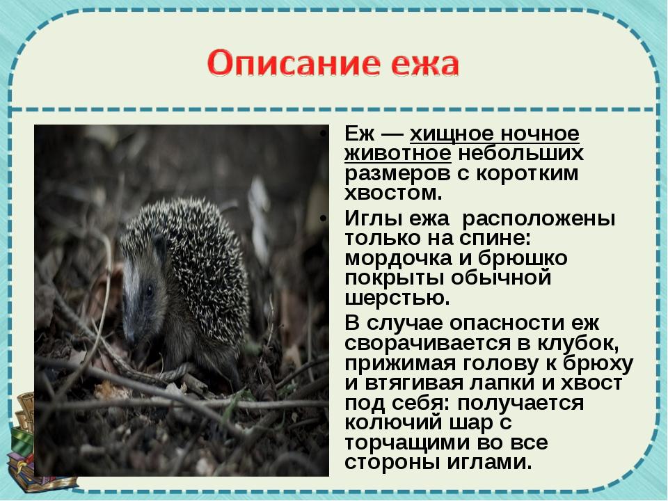 Еж —хищное ночное животноенебольших размеров с коротким хвостом. Иглы ежа р...