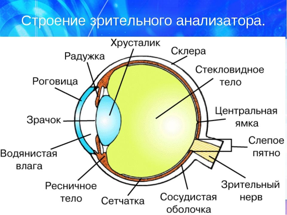 Строение зрительного анализатора.