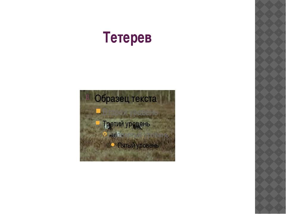 Тетерев